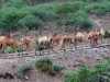 barka-nado-mokaya-ethiopia-2009-camels